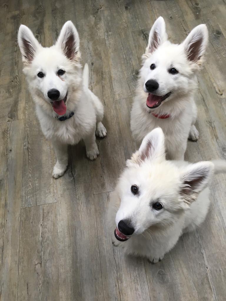 Weisse Schaferhunde Zucht Und Welpen